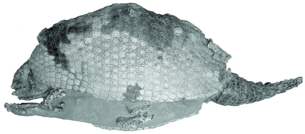 Gliptodonte Colombia