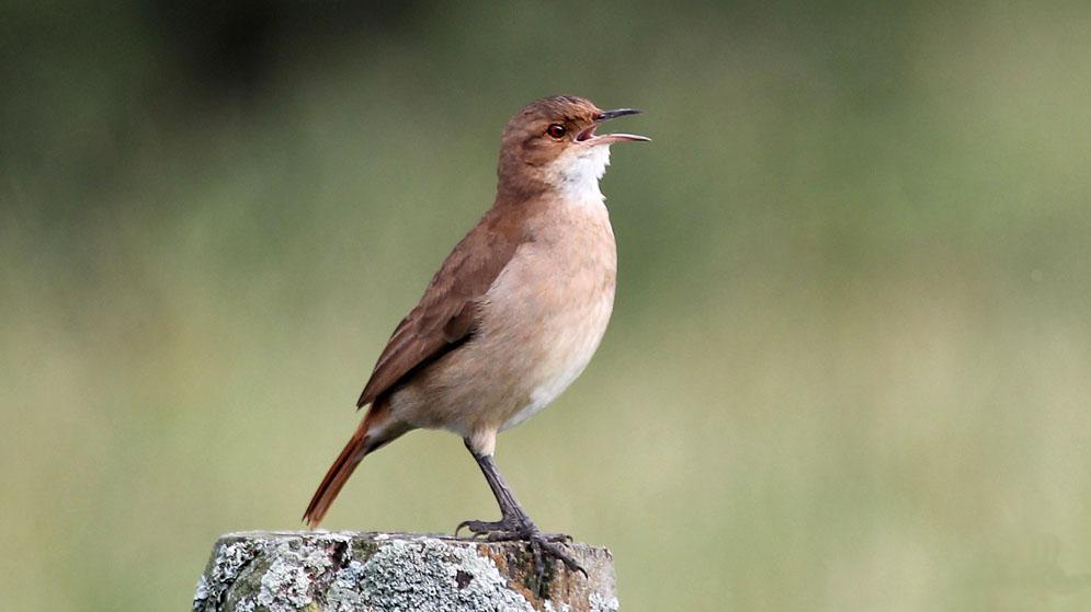 Hornero-cantando-Silvia-Vitale1