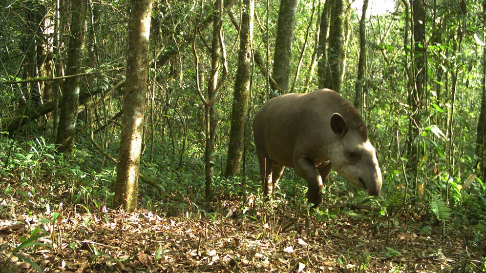 Comprueban-que-las-plantaciones-de-pinos-modifican-la-fauna-nativa-de-Misiones-01